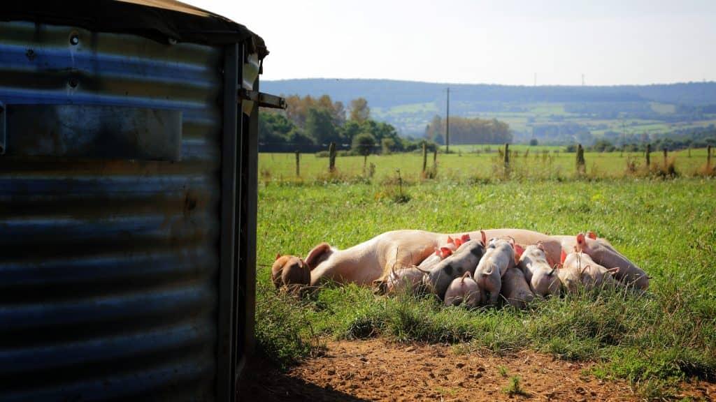 Cet ouvrage s'est donné pour objectif de mettre en avant l'ensemble des points d'attention techniques et des bonnes pratiques à respecter au sein de la filière porcine bio