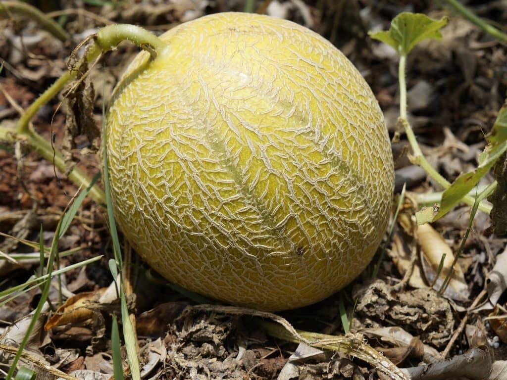La culture de melon bio en Wallonie à la une!