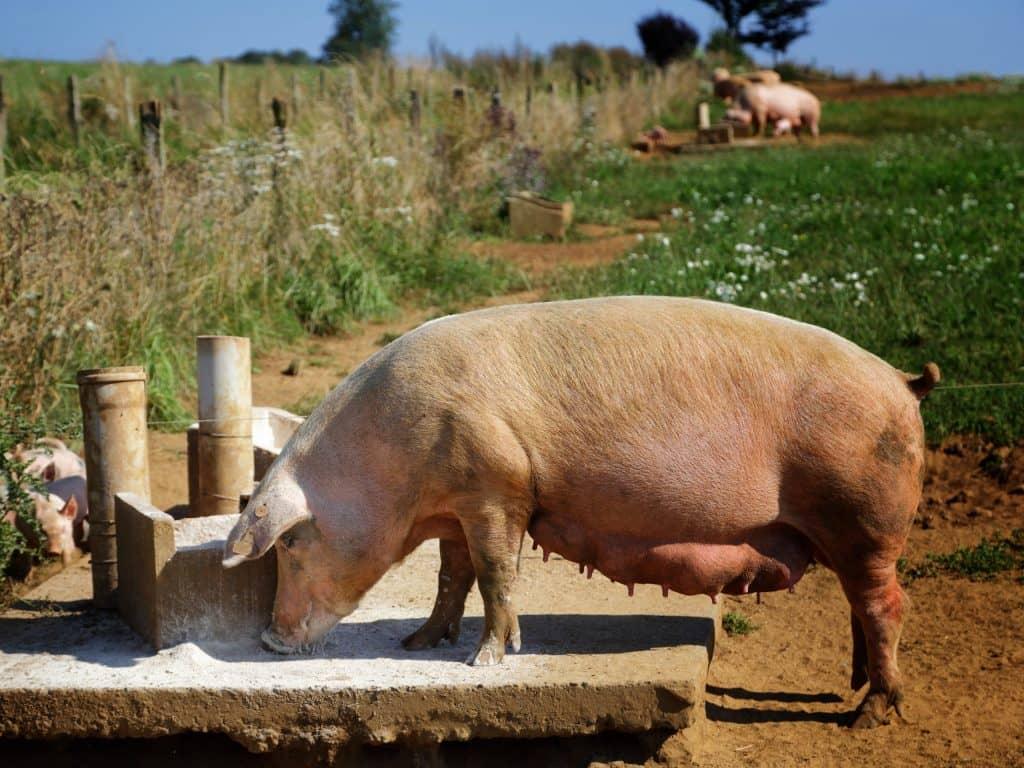 Recherches filières bovines et porcines – 29 nov.