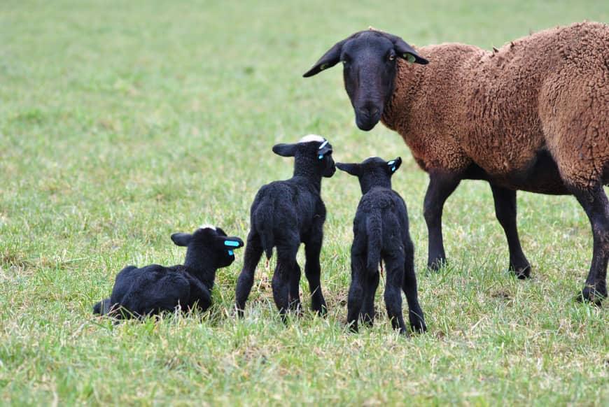 2 dec- Journée – La Noire du Velay élevée en pâturage de précision