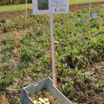 Pommes de Terre Robustes